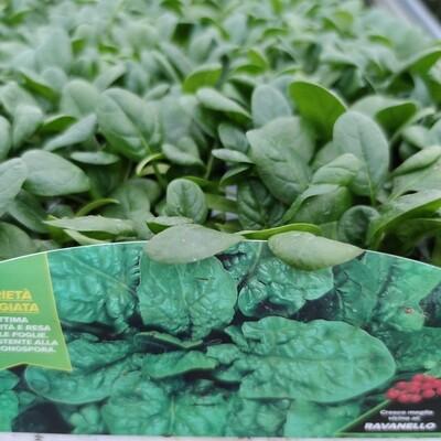 Spinat (12 Pflanzen)