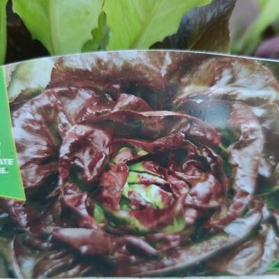4 Jahreszeiten Kopfsalat (9 pflanzen)