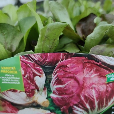 Radicchio Kopfsalat Frühling (9 Pflanzen)