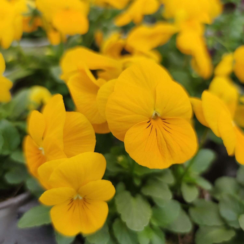Stiefmütterchen klein blumig gelb 10 Stück