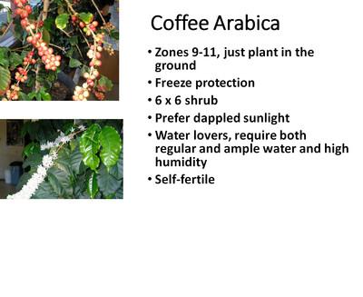 Coffee, Arabica