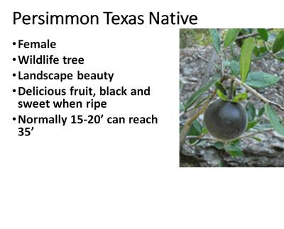 Persimmon, Native