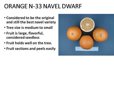 Orange, Navel N33 Dwarf