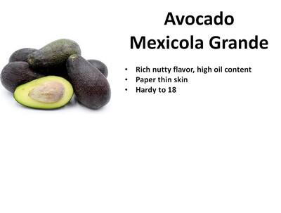 Avocado, Mexicola Grande