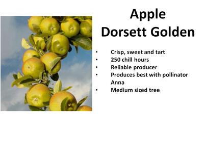 Apple, Golden Dorsett