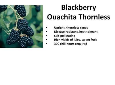 Blackberry, Ouachita