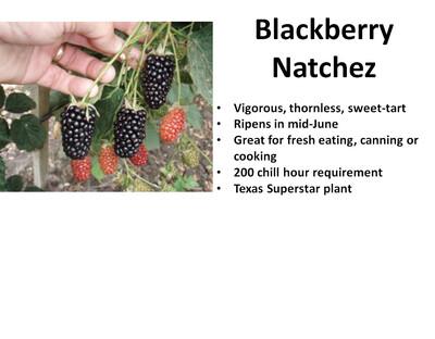 Blackberry, Natchez