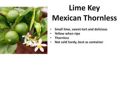 Lime, Key (mexican thornless)