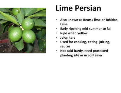 Lime, Persian
