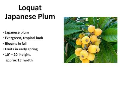 Loquat, Japanese Plum