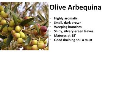 Olive, Arbequina