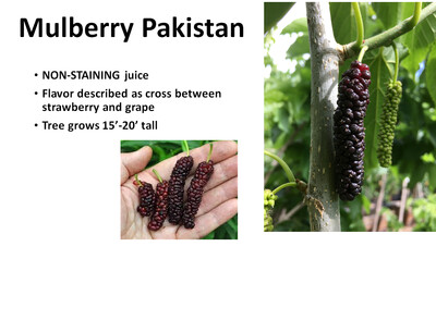 Mulberry, Pakistan