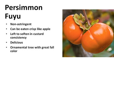 Persimmon, Fuyu