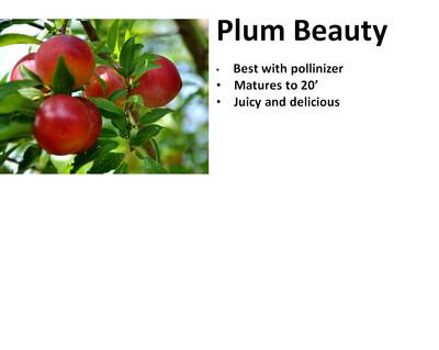 Plum, Beauty