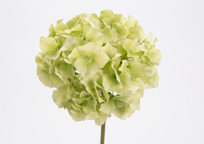 Hortensia altona H48 vert