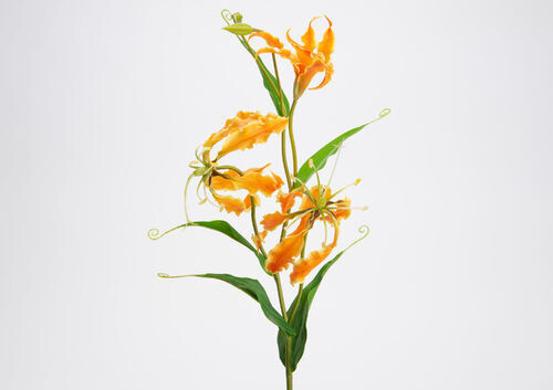 Gloriosa Lily H76 or