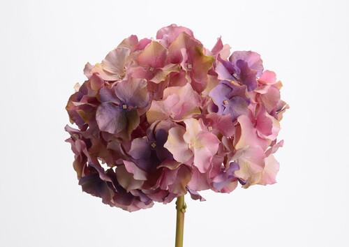 Hortensia altona h48 mv/mi