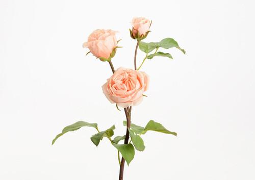 Rose catalina h48 corail
