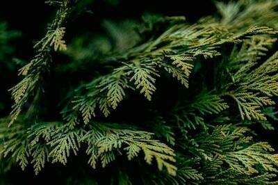 Cedar Melts