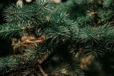 Pine Melts