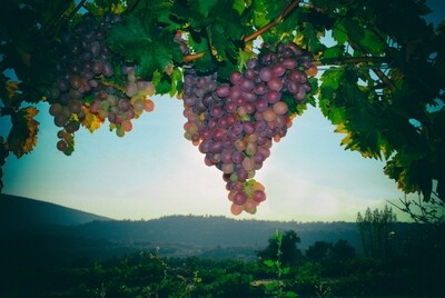 Grapes in Provence