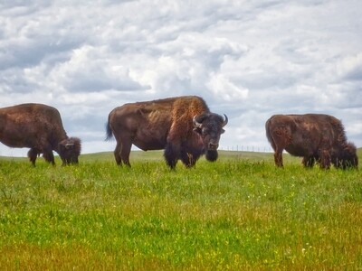 Buffalos in South Dakota