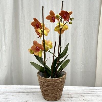 Phalaenopsis Orchid Orange