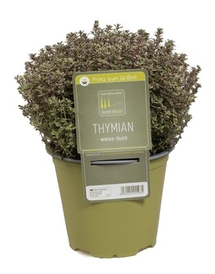 Thyme Classic