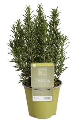 Rosemary Upright