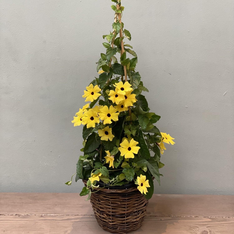 Thunbergia Plant Yellow