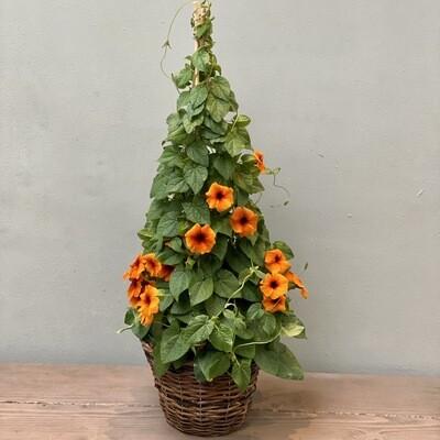 Thunbergia Plant Orange
