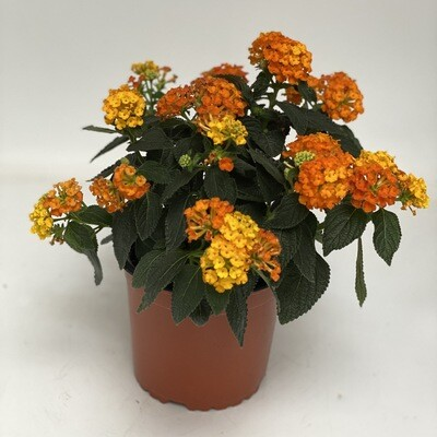 Lantana orange