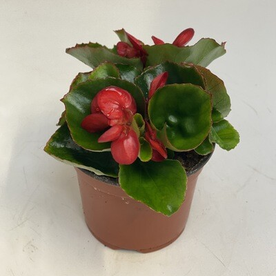 Begonia Red Green Leafs
