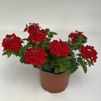 Verbena Red