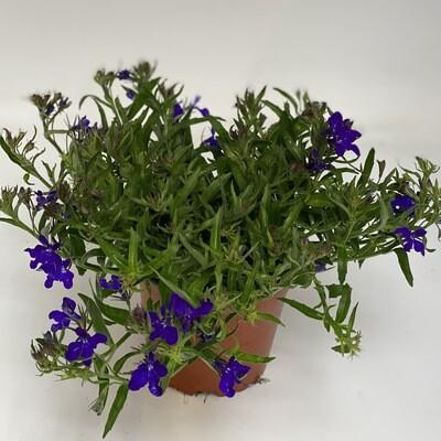 Lobelia purple
