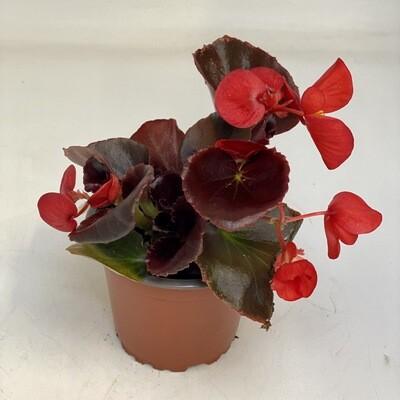 Begonia Red Dark Leafs