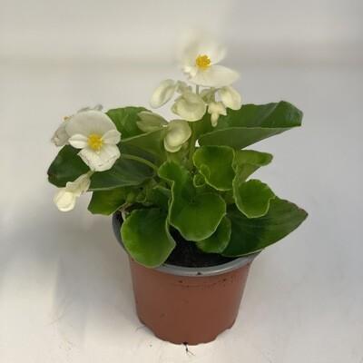 Begonia White Green Leafs