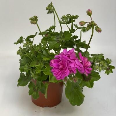Geranium fuchsia pink