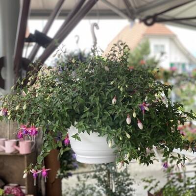 Fuchsia Hanger