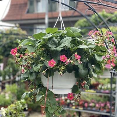 Strawberry hanger