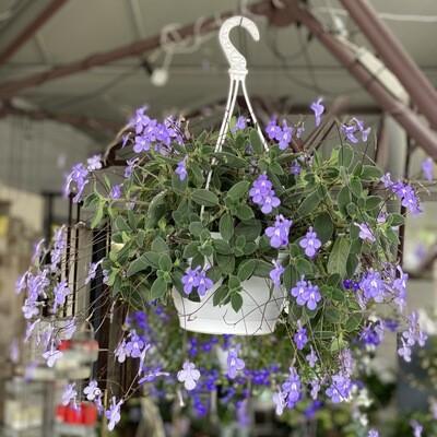 Streptocarpus hanger