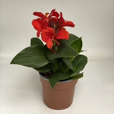 Canna Plant orange