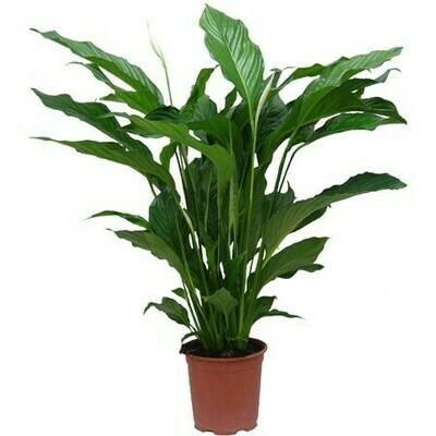 Spathiphyllum avec cache pot