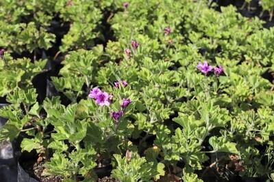 Pelargonium cucullatum (Wilde malva)