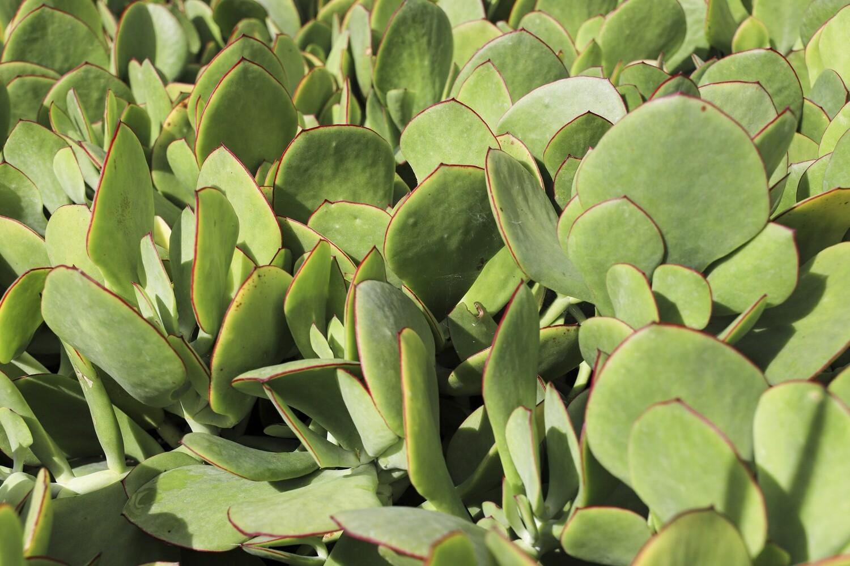 """Cotyledon orbiculata  """"Green"""""""