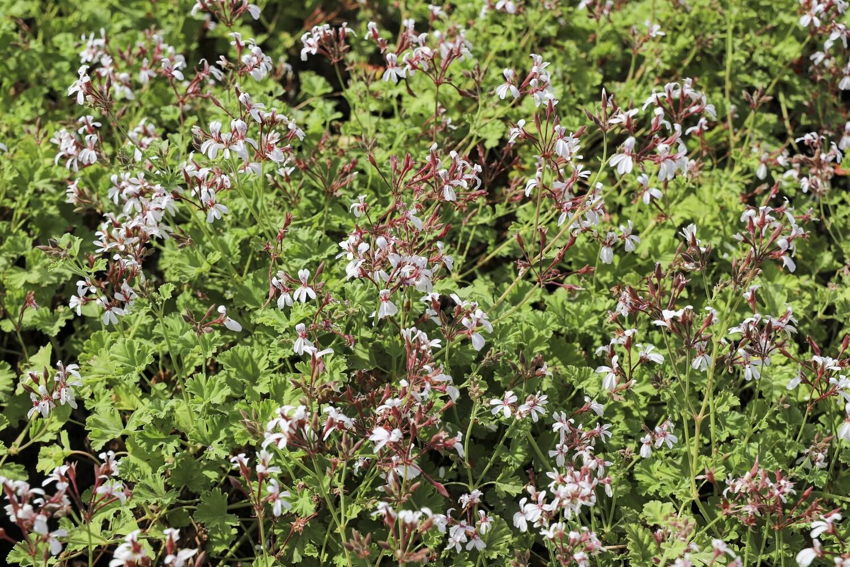 """Pelargonium x fragrans  """"nutmeg scented"""""""