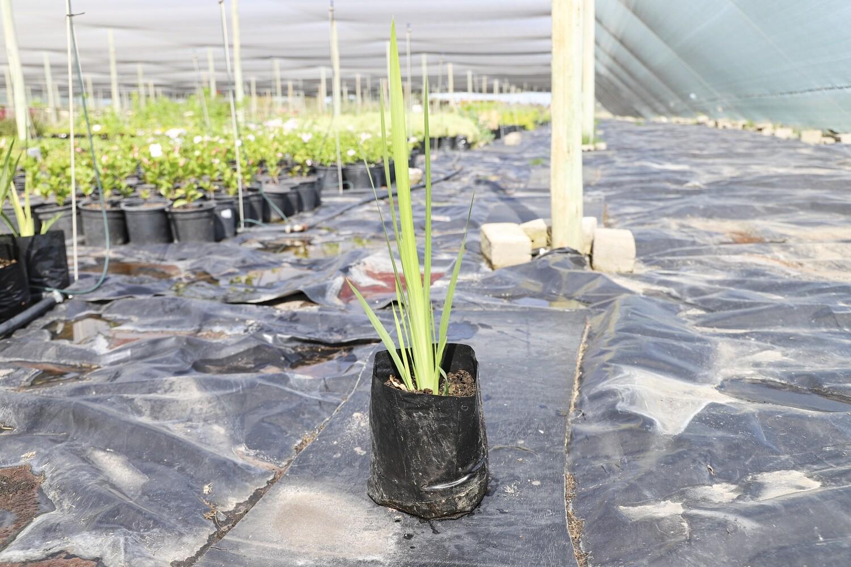 Dietes grandiflora  (Wild iris white)