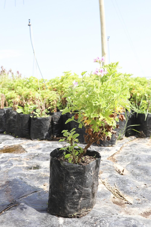 Pelargonium graveolens  (Rose scented)