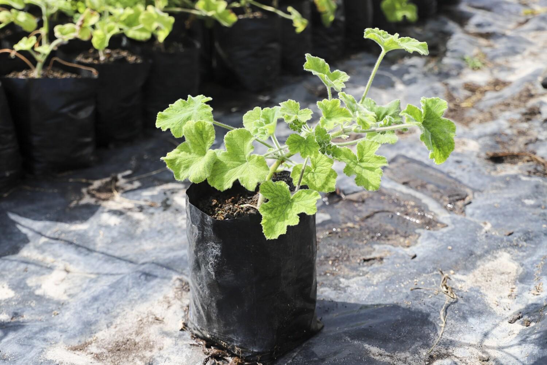 """Pelargonium tomentosum  """"peppermint scented"""""""