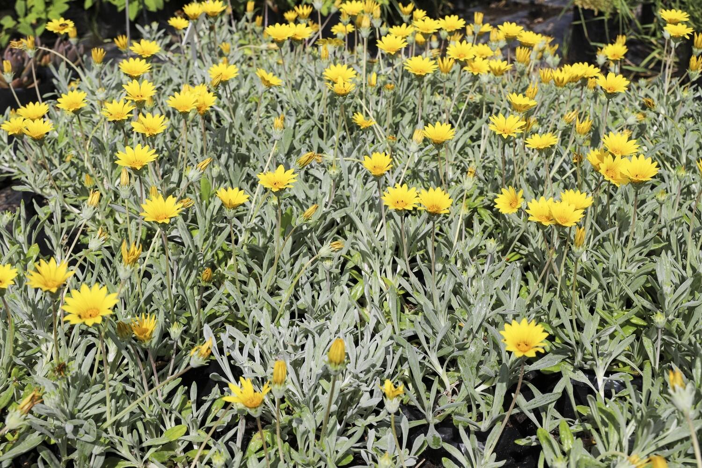 "Gazania Uniflora  ""Yellow"""